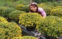 """Khám phá """"choáng"""" về cúc mâm xôi được trồng nhiều ở ĐBSCL"""
