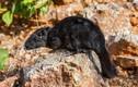 Khám phá bất ngờ chuột đá quý hiếm, từng có ở VN