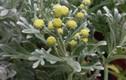 Sự thật bất ngờ cây hoa cúc mốc vừa làm cảnh vừa làm thuốc ở VN