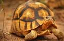 Kỳ thú loài rùa trông như lưỡi cày, quý hiếm độc đáo bậc nhất