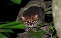 """Loài mèo rừng quý hiếm, chuộng ở sạch, rửa con mồi trước khi """"xơi"""""""