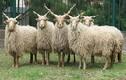 Giống cừu có bộ lông dày, cặp sừng xoắn ốc siêu khủng