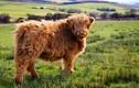 """Khám phá bất ngờ giống bò có """"mái tóc"""" dài như lãng tử"""