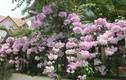"""Sự thật """"choáng"""" loài hoa mùi như tỏi, được yêu thích ở Việt Nam"""