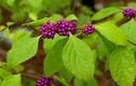Choáng váng lợi ích từ cây nàng nàng, mọc nhiều ở Việt Nam