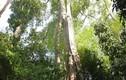 Sự thật sửng sốt cây kiền kiền cho gỗ quý ở Việt Nam