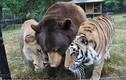 Tình bạn hi hữu hơn 10 năm của bộ ba gấu, hổ và sư tử