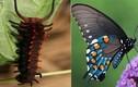 """Bất ngờ màn """"dậy thì thành công"""" của 10 loài bướm đẹp nhất Thế giới"""