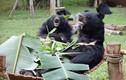 Những chú gấu Việt Nam được nuôi dưỡng thế nào sau cứu hộ?