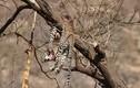 Phát hiện xác báo đốm trên cây, tá hỏa khi thấy hung thủ lộ diện