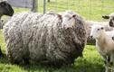 """Chú cừu mang bộ lông lớn nhất thế giới sau 7 năm """"giãn cách xã hội"""""""