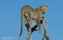 Ảnh động vật: Báo đốm hung dữ run rẩy trên ngọn cây vì sợ bầy chó hoang