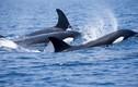 Cuộc chiến gay cấn giữa cá nhà táng và đàn cá voi sát thủ