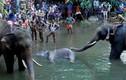 """""""Sao"""" quốc tế phẫn nộ vụ voi mẹ chết vì ăn trái cây... nhét pháo"""