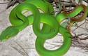 Kinh hãi những loài rắn cực độc đang được nuôi tại Việt Nam