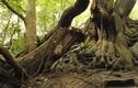 """Sự thật về cây sồi cổ bị xích vì mang """"lời nguyền chết chóc"""""""