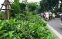 Cận cảnh hàng hoa nhài trồng dọc đường đi bộ ven sông Tô Lịch