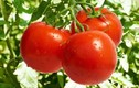 Cách chọn cà chua ngon chỉ cần nhìn cuống