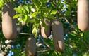 Loại cây treo đầy xúc xích, nguồn cứu đói người dân Châu Phi