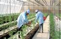 Lý do khiến rau sạch chưa thể hơn hẳn rau thường