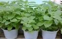 7 cây mẹ nên trồng vừa làm cảnh vừa trị bệnh cho bé