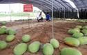 Kỳ lạ cây dưa hấu 131 trái chi chít ở Trung Quốc