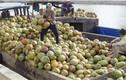 Hình ảnh choáng ngợp thủ phủ dừa lớn nhất nước