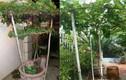 Ngắm nho trồng trong chậu lên giàn cực đẹp