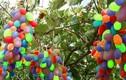 Những giống nho đắt đỏ màu sắc dị nhất thế giới