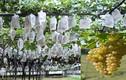 Khám phá cách trồng nho mẫu đơn quý hiếm của người Nhật