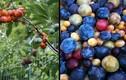 Dị thường cây cho ra 40 loại quả khác nhau