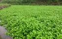 Vườn rau đặc sản cho thu nhập trăm triệu ở Quảng Trị