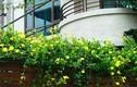 Những loài cây dây leo dễ trồng cho nhà phố thêm xinh