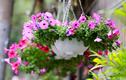 Những loài hoa ban công chịu rét thích hợp trồng mùa đông