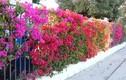 Những mẫu hàng rào hoa đẹp say lòng người