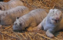 Ngắm 4 chú hổ trắng con quý hiếm nhất thế giới