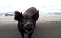 Chú lợn đáng yêu nhất quả đất xin ăn giữa đường