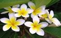 Công dụng chữa bệnh thần kỳ của hoa sứ trắng