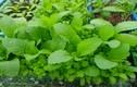 Bật mí cách trồng rau trong thùng xốp lên ầm ầm
