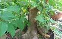 Video: Nếu trước cửa nhà có cây này, hãy chặt ngay còn kịp