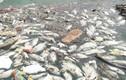 Cá chết nổi trắng hồ ở Đà Nẵng sau cơn mưa lớn