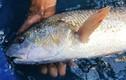 Ngư dân ở Đà Nẵng câu được cá nghi là sủ vàng tiền tỷ