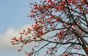 Ngỡ ngàng trước cảnh sắc hoa gạo đỏ rực trời khắp mọi miền đất nước