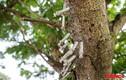 Kinh hãi cảnh bơm kim tiêm cắm đầy trên cây ở Bắc Ninh