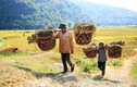 """Dân phải """"ngụy trang"""" đi gặt lúa nơi """"chảo lửa"""" miền tây xứ Nghệ"""