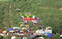 Sơn La: Xem gái Mông thi hái mận tại Mộc Châu