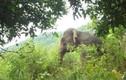 Voi rừng khổng lồ đạp phát chết luôn trâu nhà ở Sơn La kêu cứu
