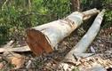 Phát hiện nhóm lâm tặc phá rừng tại Khu Bảo tồn thiên nhiên Ea Sô
