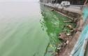 Dân hoảng hốt vì nước hồ Tây chuyển màu xanh bất thường
