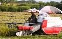 Người dân vùng ngoại thành tất bật thu hoạch lúa dưới cái nắng gần 40 độ C